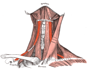 Cervical muscles anatomy